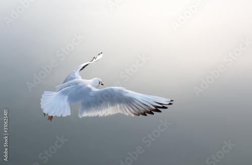 Fotografía  Möwe fliegt der Sonne entgegen