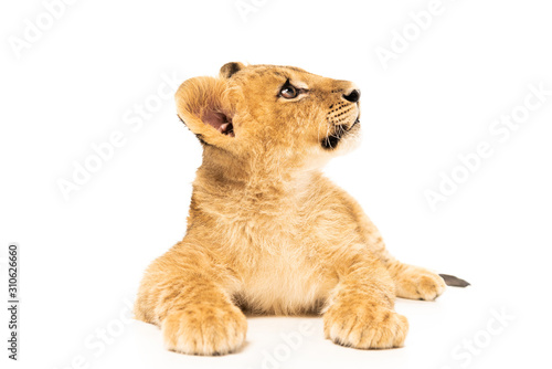 cute lion cub lying and looking away isolated on white