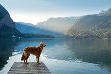 Dog On A Journey. Nova Scotia Retriever By A Mountain Lake On A Wooden Bridge. A Trip With A Pet To Nature