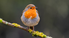 European Robin Perched In A Tree