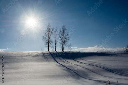 Fotomural  晴れた冬の日の冬木立 美瑛町