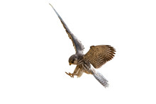 Female Of Amur Falcon Isolated On White Background