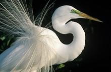 White Egret Close-up