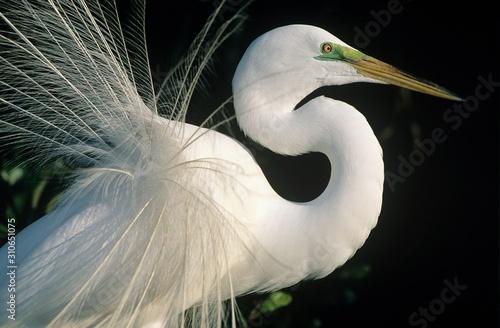 Fotomural  White Egret close-up