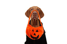 Dog Halloween Trick Or Treat With Pumpkin Bag And Black Dressed.  Isolated On White Background.