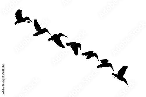 Flying birds. Kingfisher. Vector image. White background. Fototapet