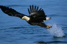 Bald Eagle Catching Fish In Ri...