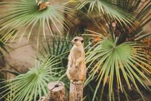 Meerkat On Hind Legs. Portrait...