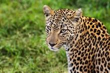 Close-up Of Leopard (Panthera Pardus) Looking At Camera