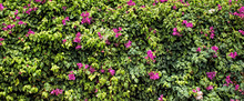 Green Hedge Background With Purple Flowers. Thick Deciduous Shrub In The Form Of A Wall
