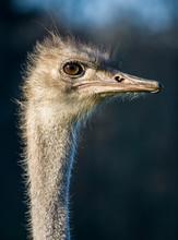 Ostrich Bird Animal Head Portrait