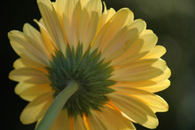 Close Up Of The Backside Of A Yellow Gerber Daisy Flower.