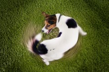 Jack Russell Terrier Chasing T...