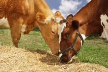 Two Brown Cows Eating Hay In F...