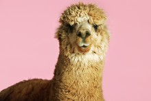Alpaca On Pink Background