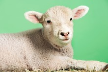 Lamb Against Green Background