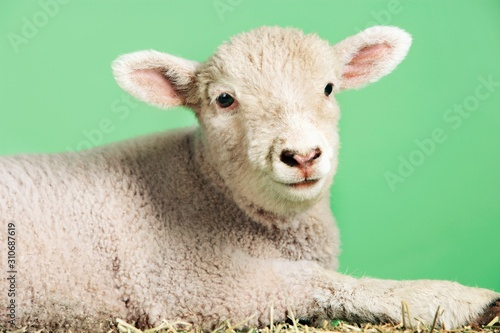 Photo Lamb Against Green Background