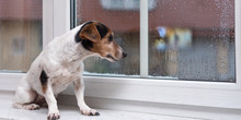 Little Jack Russell Terrier Dog Sits Alone On A Windowsill In Bad Weather And Looks Outdoors In The Winter Season