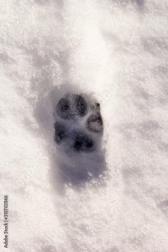 Obraz Animal tracks in snow - fototapety do salonu