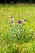 A Musk Thistle Carduus Nutans With Nodding Purple Flowerheads Growing In Grassland In Wiltshire