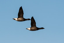 Brent Gooses In Fly On A Sky. Their Latin Name Is Branta Bernicla.