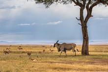 Common Eland, Eland Antilope (...