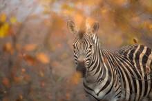 Selective Focus Shot Of A Zebra Looking Towards The Camera