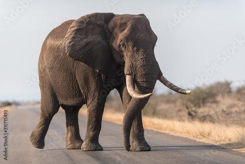 Fototapeta Elephant walking on the road obraz