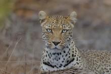 Closeup Shot Of A Cheetah Looking At The Camera