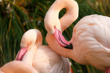 Two Beautiful Pink Flamingos Brush Feathers, Closeup Portrait