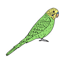 Vector Hand Drawn Doodle Sketch Colored Budgie Parrot Isolated On White Background