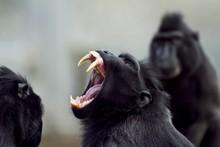 Closeup Shot Of A Baboon Screa...