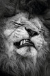 Desolate lion with bared teeth