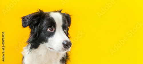 Photo Funny studio portrait of cute smilling puppy dog border collie isolated on yellow background