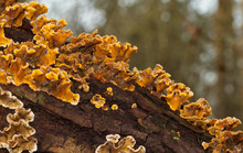 Hairy Curtain Crust Also Known As False Turkey Tail, A Bracket Fungus Attached To Dead Wood