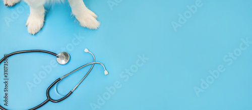 fototapeta na drzwi i meble Puppy dog border collie paws and stethoscope isolated on blue background. Little dog on reception at veterinary doctor in vet clinic. Pet health care and animals concept Banner