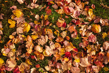 Colorful Fallen Leaves On Grassland In Autumn.