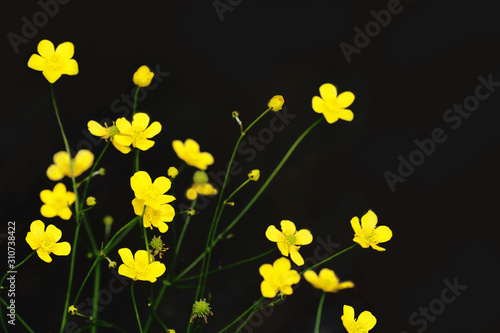 Photo Meadow buttercup or Ranunculus acris flower on a black background