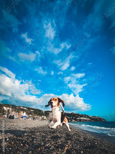 Beagle jugando en la playa Canvas Print