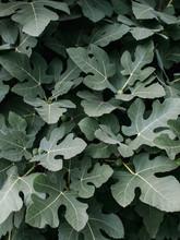 Leaves Of Large Fig Bush