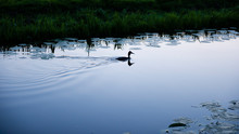 Silhouette Of Wild Duck Swimming On River