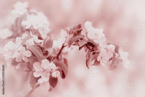 Obrazy kwiat jabłoni   galaz-jabloni-z-bialych-kwiatow-wiosna-na-niewyrazne-tlo-stonowany-zblizenie
