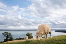 Grazing Sheep By The Ocean