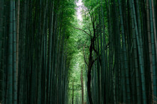 Japanese Bamboo In Garden Of Kyoto Temple
