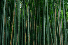 Japanese Bamboo In Garden Of K...