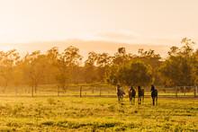 Arabian Horses Running At Sunr...