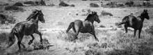 Wild Horses At Full Tilt
