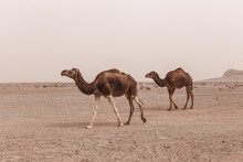 Dromedary Camels In The Fog