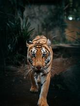 Bali Tiger