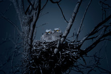 Great Horned Owlets In Nest At...